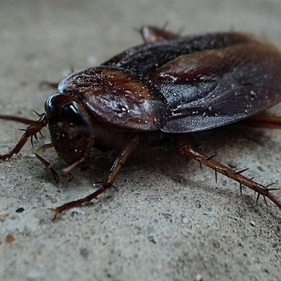 Cockroaches, Pest Control in Ponders End, Enfield Wash, EN3. Call Now! 020 8166 9746