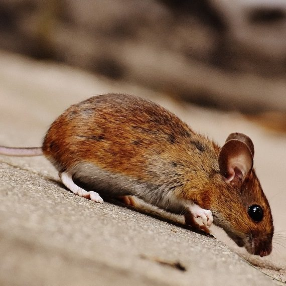 Mice, Pest Control in Ponders End, Enfield Wash, EN3. Call Now! 020 8166 9746