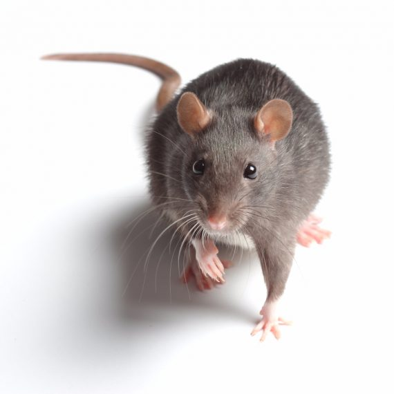 Rats, Pest Control in Ponders End, Enfield Wash, EN3. Call Now! 020 8166 9746