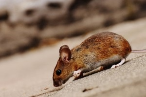 Mouse extermination, Pest Control in Ponders End, Enfield Wash, EN3. Call Now 020 8166 9746